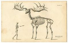 The Fossil Elk - The Graphics Fairy - Engraving published by W. H. Lizars in Edinburgh - 1830s