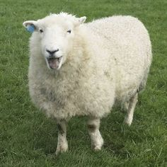 Devon Closewool, RBST Registered Rare Breed wool by Ared2Die4 on Etsy
