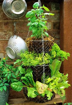 Hanging herb garden - pair sage and rosemary, parsley (appreciates weekly liquid feeding and midday shade) and chives, and basil (cut some shoots off a supermarket-bought plant and stand them in water until they produce roots, then pot up the plantlets individually).