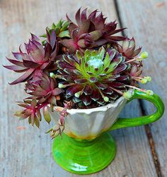 Hens-and-chicks in a vintage cup