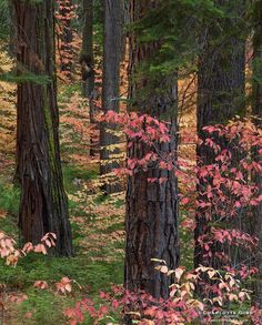 Dogwoods in Fall (Yosemite, California) by Charlotte Gibb / 500px