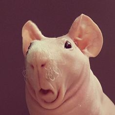 Hairless Guinea Pig is Very Cute! -)