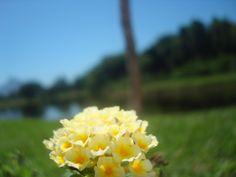 Linda flor amarela.    Bosque da Barra, Rio de Janeiro