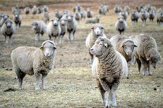 O turmă de oi drogate cu canabis a făcut prăpăd într-un sat din Țara Galilor Lamb, Goats, Goat