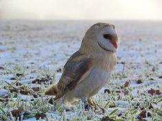 Rosie the barn owl
