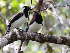 Foto gralha-cancã (Cyanocorax cyanopogon) por Fábio Andrezo   Wiki Aves - A Enciclopédia das Aves do Brasil