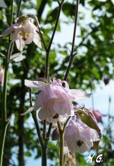 Akelei - unverzichtbar in jedem Garten - und immer wieder für eine Überraschung gut!