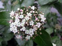 Image result for specimen shrubs viburnum