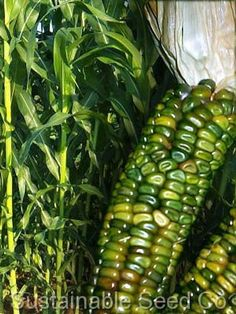 """Zea Mays Oaxacan Green Dent corn. This corn will be grown using the """"Three Sisters"""" method. A triad of corn, beans and winter squash. This corn will make beautiful fall decorations. Exotic Fruit, Exotic Plants, Fruit And Veg, Fruits And Vegetables, Flint Corn, Rainbow Corn, Glass Gem Corn, Organic Seeds, Edible Garden"""