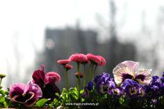 bratki, stokrotki Plants, Balcony, Plant, Planets