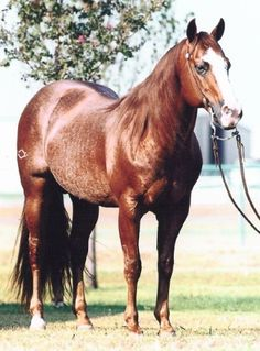 Smart Chic Olena is the only horse in history to win the AQHA World Championship Show in both the Cutting and Reining.