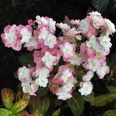 """Hydrangea serrata """"Fuji-no-taki"""", arbuste caduc, le meilleur à fleurs blanches en étoile"""