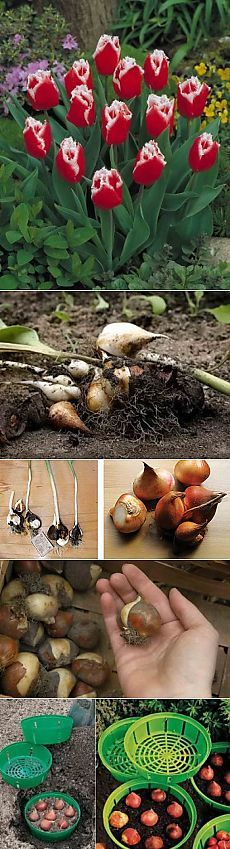 Когда и как выкапывать тюльпаны, хранение луковиц | Дача - впрок