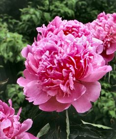 Love this Live 'Mons Jules Elie' Peony - Set of Two by Cottage Farms Direct on #zulily! #zulilyfinds