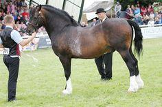 Photo Archive Royal Welsh Show Stallion 2015 : Rainhill Welsh Cobs
