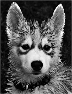 Wolf Pup Innocent...but the public will soon cry guilty when he is an adult...yet no wrong doing will be his...just because of what he is.
