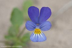 Wild pansy or field pansy