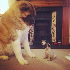 Omg i found this pic of an akita and another dog! I have an akita:) Pug Puppies For Sale, Cute Puppies, Bulldog Puppies, Baby Animals, Funny Animals, Cute Animals, Pug Love, I Love Dogs, White Pug