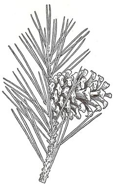 Natur Tattoo Arm, Pyrography Patterns, Wood Burning Patterns, Botanical Drawings, Crayon, Digital Stamps, Pine Cones, Rock Art, Vintage Images