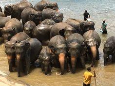 elephants in sri lanka bathing by keepers mylifesamovie.com