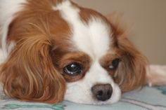 Adopt | Greater Chicago Cavalier Rescue