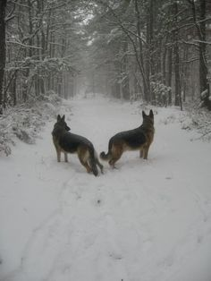 beautiful ... German Shepherds love the snow ... wonderful protective family dogs! loyal!