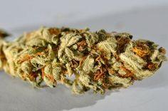 """Maconha: Considerada a mais leve das drogas ilegais e a mais consumida no mundo. Consiste em folhas e flores secas de Cannabis fumadas em cigarros ou cachimbos. A droga pode ter efeito tanto entorpecente quanto estimulante e já foi utilizada como """"soro da verdade"""" por uma agência governamental nos Estados Unidos durante a Segunda Guerra Mundial (!). No Brasil, ela era vendida com o nome de Cigarros Índios, indicados para asma, tosse, rouquidão e insônia."""