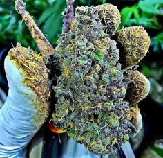 omg.Buy Marijuana/ Buy weed /Buy cannabis and marijuana products.You have been thinking of  where to get the oldest and the best marijuana strains as well as concentrates and edibles, and place your order to get in shipped within 48 hours max.No Card needed.Every transaction  with us is discreet .More info at.. www.onlinecannabissupply.com Text or call +1(951) 534 5163