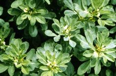 Fenugreek Seeds - Highly Versatile Culinary Herb Prized for Salad and as an Ingredient Sprouting Seeds, Planting Seeds, Corsican Mint, Mint Plants, Herb Seeds, Flower Seeds, Herbal Remedies, Yellow Flowers, Garden Inspiration