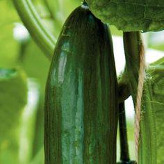 Eerste oogst 'aardwarmtekomkommers' Lees het artikel!