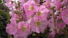 Alcea rosea pink2.jpg
