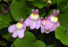 File:Cymbalaria muralis ziedai.jpg http://commons.wikimedia.org/wiki/File:Cymbalaria_muralis_ziedai.jpg Ivy-leaved toadflax. (BoardRef: G&L Brunsden's Wildflowers of NZ book.)