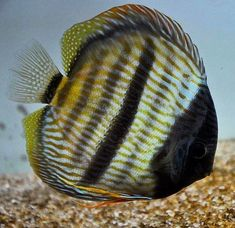 New World Cichlid Discus Discus Aquarium, Tropical Fish Aquarium, Discus Fish, Freshwater Aquarium Fish, Acara Disco, Tetra Fish, Salt Water Fish, Beautiful Fish, Exotic Fish