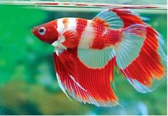 Betta fish are often considered to be among the heartiest sort of fish one can purchase, but great betta fish care is essential to a long and happy life. Aquarium Terrarium, Betta Aquarium, Freshwater Aquarium Fish, Fish Aquariums, Pretty Fish, Beautiful Fish, Poisson Combatant, Tropical Fish Store, Betta Fish Care