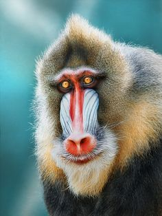 ...reminds me of santa ....mandrill by Detlef Knapp / 500px