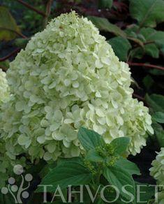 LIMELIGHT SYYSHORTENSIA | Tahvoset Garden Plants, Plants
