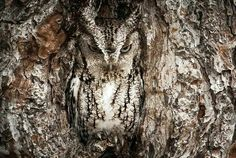 Eastern Screech Owl camouflaged in a tree.  Very cool!