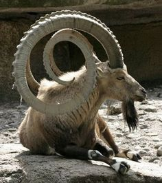 The horns serve as a symbol of beauty. So here are some Beautiful Pictures of African Animals with Horns. Animals really look very bold and charming with a pair of horns. The Animals, African Animals With Horns, Nature Animals, Funny Animals, Majestic Animals, Animals Beautiful, Animal Photography, Pet Birds, Mammals