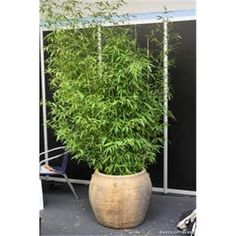 Image result for golden bamboo in pots