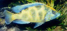 ... Cichlid on Pinterest Cichlids, Malawi cichlids and African cichlids