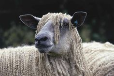 Wensleydale Llamas, Sheep, British, Portraits, Projects, Animals, Log Projects, Blue Prints, Animales