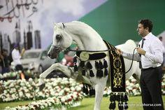 2013 Aiman Arabian Horse Show