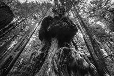Canada's Gnarliest Tree in Avatar Grove near Port Renfrew Vancouver Island, British Columbia, Avatar, Canada, Explore, Travel, Viajes, Destinations, Traveling