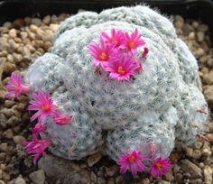 Mammillaria humboldtii. Central Mexico native. Ball/clumping shape.