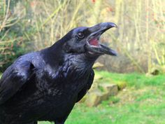 Every animals has significance in this world as well as something powerful to teach us. This page is brought to you by Raven. Spirit Animals and Totems