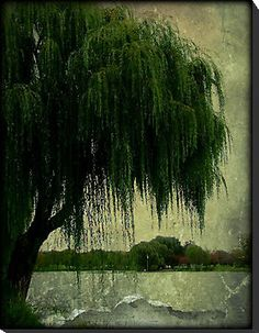 My special weeping willow tree © by Dawn M. Becker | Redbubble