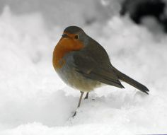 Have you seen many robins around yet this December? #Winter