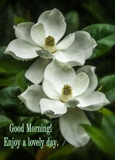 Flor Magnolia, Magnolia Trees, Magnolia Flower, Most Beautiful Flowers, Pretty Flowers, White Flowers, Sugar Flowers, Paper Flowers, Gardenias
