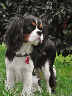 The many things I admire about the Playfull Cavalier King Charles Spaniel Puppy King Charles Puppy, Cavalier King Charles Dog, King Charles Spaniels, Cavalier King Spaniel, Spaniel Puppies, Cocker Spaniel, Cute Dogs And Puppies, Doggies, Puppies Puppies