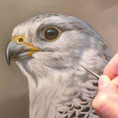 Gyrfalcon watercolor on board with sterling silver in progress Rebecca Latham - one of several new falcon studies of the Midwest Peregrine Society's birds.  #wildlife #watercolor #art #animal #painting #miniature #artist #miniatureart #realism #animallovers #falconry #falcon #falcons #gyr #gyrfalcon #birdsofprey #raptor #birds #birdlovers #workinprogress #naturalism #midwestperegrinesociety